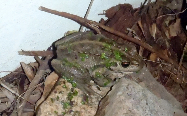 Pound Frog